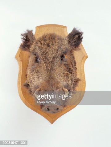 Mounted wild boars head, studio shot