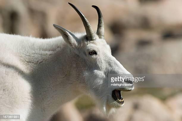 Chèvre de montagne, baaaa