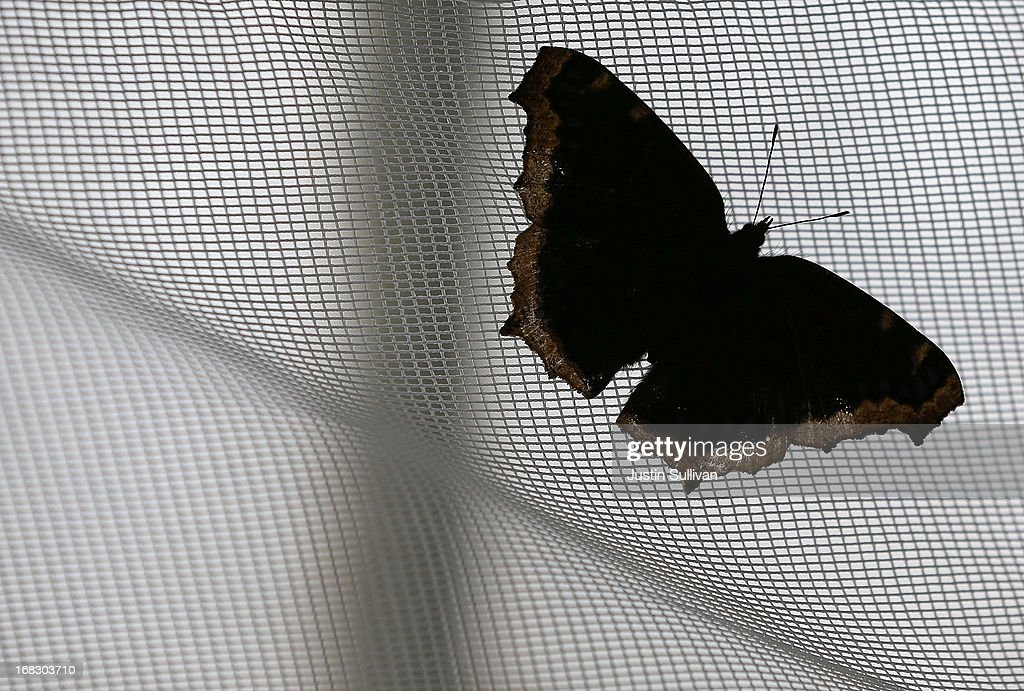 A Mourning Cloak butterfy sits on the mesh ceiling of a greenhouse during the first day of the 'Butterflies and Blooms' exhibit at the Conservatory of Flowers in Golden Gate Park on May 8, 2013 in San Francisco, California. The popular 'Butterflies and Blooms' exhibit has returned to the Conservatory of Flowers and features more than 20 species of North American butterflies including Monarchs, Western Swallowtails and more.