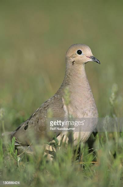 Mourning Dove (Zenaida macroura), adult, Lake Corpus Christi, South Texas, USA