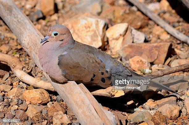 Mourning Dove rests inside an aviary at the ArizonaSonora Desert Museum in Saguaro National Park near Tucson Arizona