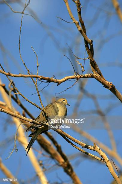 A mourning dove sits on a branch near the Salton Sea on October 20 2005 in Salton City California A controversial plan put forth by the Salton Sea...