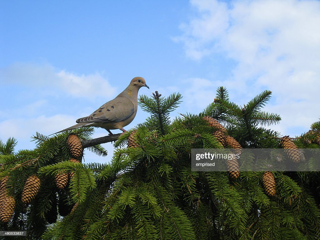 Mourning Dove : Stock-Foto