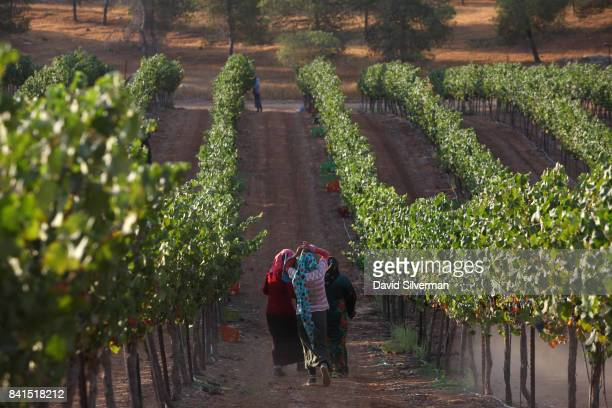 Mourvedre grapes are harvested for Yatir Winery on August 21 2017 at the Carmel vineyard in the Yatir Forest in southern Israel In a trend that...