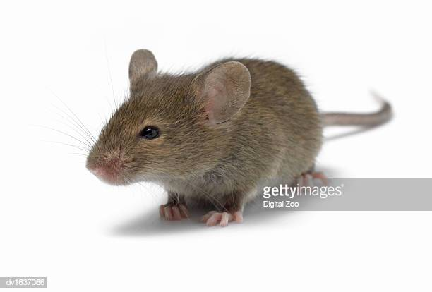 Mouse Against a White Background