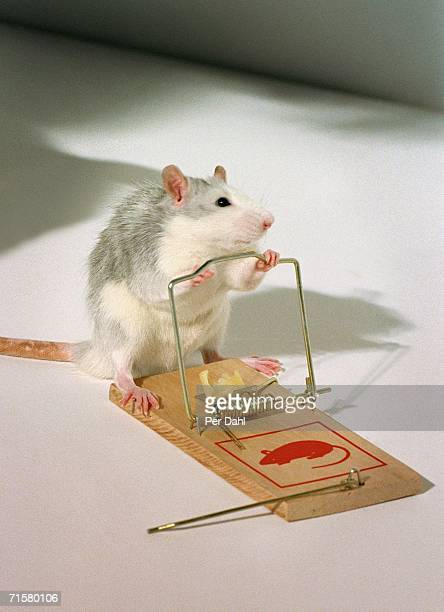 A mouse by a mouse-trap.
