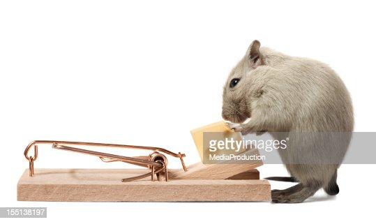 Topo mangia di formaggio delle trap