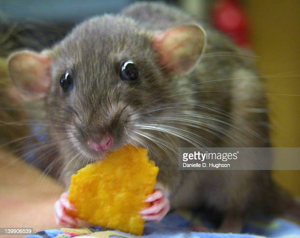 Mouse eating cracker