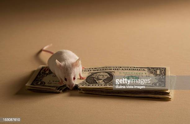 Mouse gnawing dollar bills