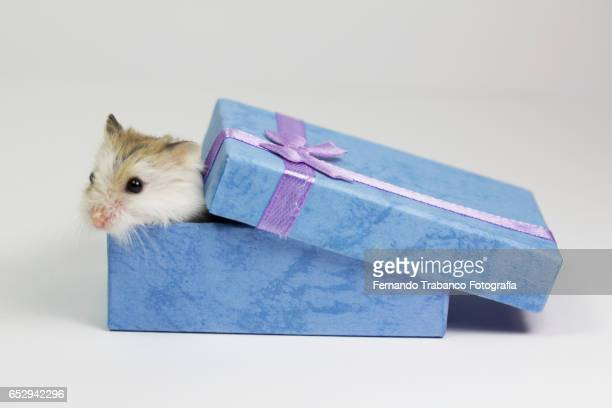Mouse inside a Christmas gift box