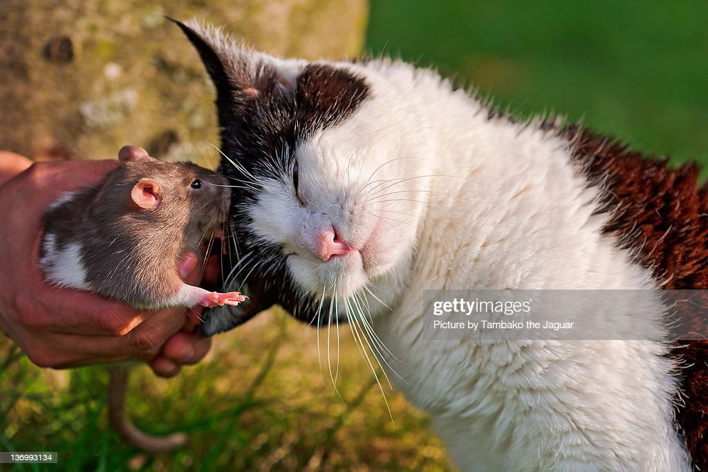 Mouse kissing cat : Stock Photo