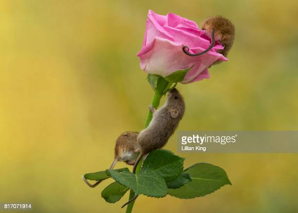 Mouse on a rose