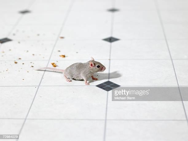 Mouse on kitchen floor