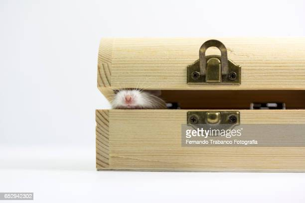Mouse points its snout in a wooden box. Smell