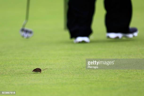 A mouse runs across the 9th green during the second round of the Senior Open Championship presented by Rolex at Royal Porthcawl Golf Club on July 28...