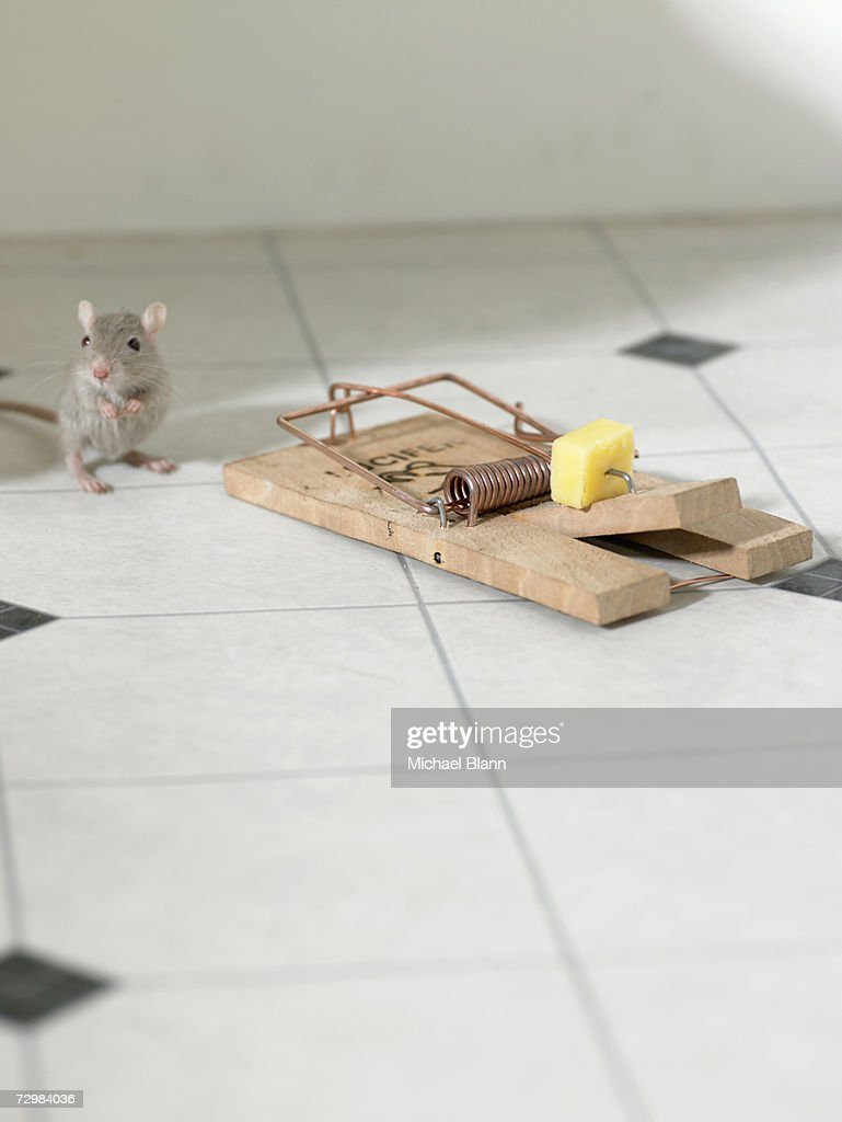 'Mouse standing on hind legs next to mousetrap on kitchen floor, looking uncertain' : Stock Photo