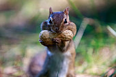 squirrel get mouth full with peanut