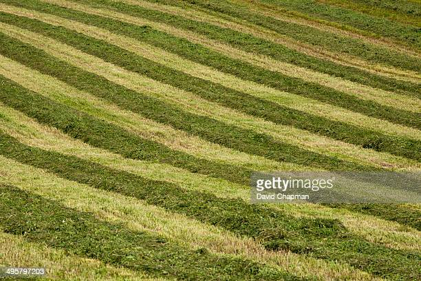 Mowed hay field with a striped pattern, Compton, Eastern Townships, Quebec Province, Canada