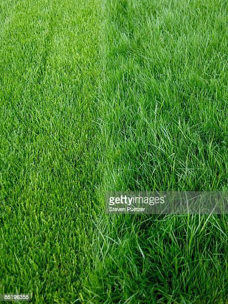 Mowed lawn next to uncut lawn