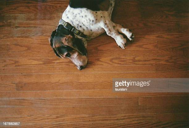 Mowgli, the basset hound