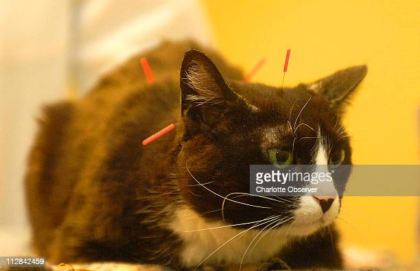 Moxy the cat gets her acupuncture treatment at Monroe Road Animal Hospital April 20 in Charlotte North Carolina