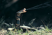 Mozambique Spitting Cobra