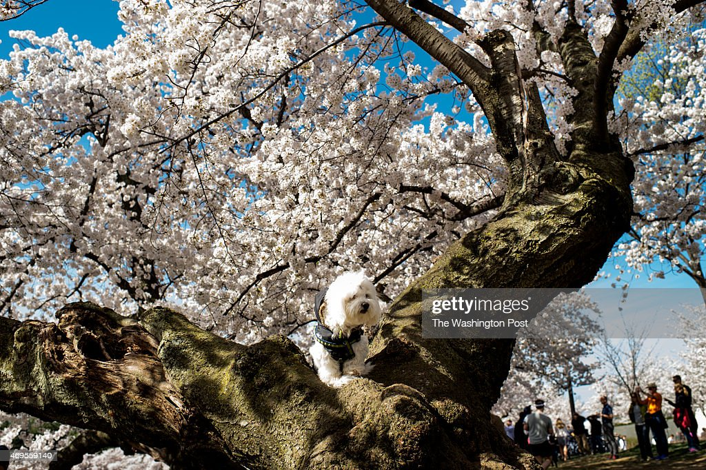 Mozart sits atop a tree as his owner Tilling Lee of Washington, D.C., has photos taken near the Tidal Basin among the cherry blossoms in Washington, D.C., on Sunday, April 12, 2015.
