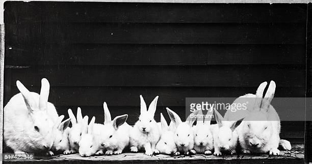 Mr and Mrs Rabbit and their nine babies BPA