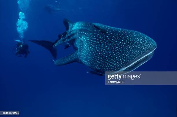 Mr. .whale tiburón gigante