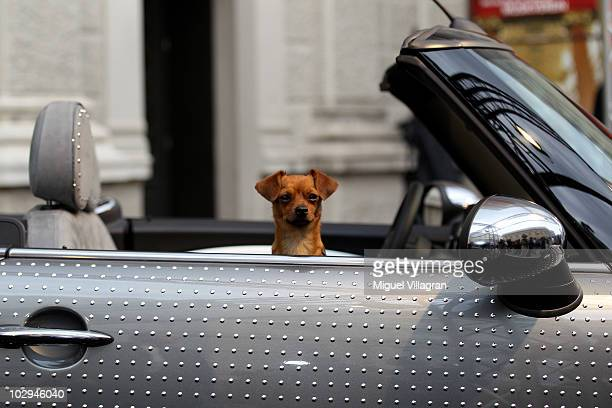 Mr Brodmann the dog of Gery Keszler sits inside a Mini car designed by Herr Brodmann prior to the Life Ball on July 17 2010 in Vienna Austria