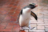 'Mr Munro' a Fiordland penguin walks leaving his paint prints on tiles at Taronga Zoo on June 27 2012 in Sydney Australia Taronga and Western Plains...