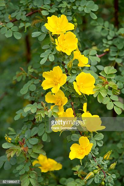 Mrs. Aitchison's Rose -Rosa ecae-, flowering, Thuringia, Germany