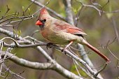 One female cardinal on branch in forest.  Portrait. Springtime.  Canada