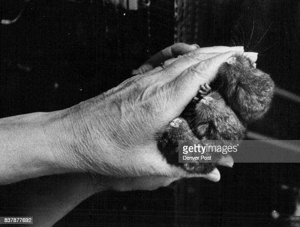 Mrs Clements holds three newly born charcoal Chinchillas They're welcome additions with a big potential price tag Credit Denver Post