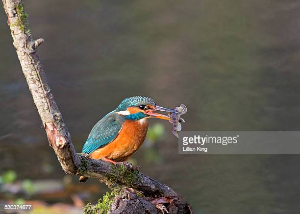 Mrs Kingfisher