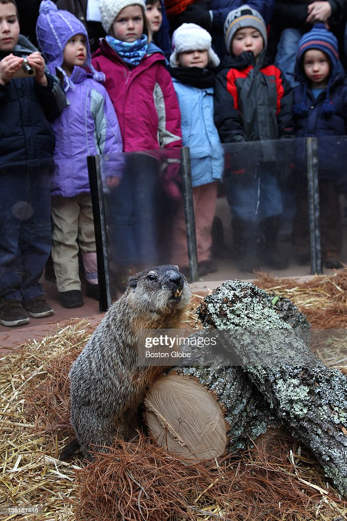Ms. G can't find a shadow at Drumlin Farm Wildlife Sanctuary on Thursday morning. The orphaned woodchuck was adopted at Drumlin in 2003 and has been attempting to predict the return of spring since 2004.