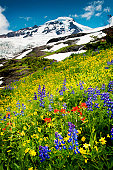 The wildflowers are in abundance during the month of August near the summit of Mt. Baker in the Pacific Northwest. Lupine, Indian Paintbrush, and Yellow Asters are seen here.