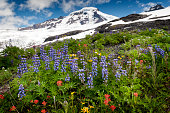 Beautiful wildflowers such as yellow asters, purple lupine, and Indian paintbrush, dominate the landscape on the Heliotrope Ridge hike near the peak of Mt. Baker, Washington.