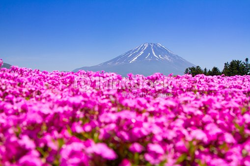 Mt Fuji And Pink Moss Field Of Flowers