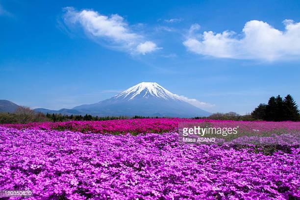 Mt. Fuji and Shibazakura field