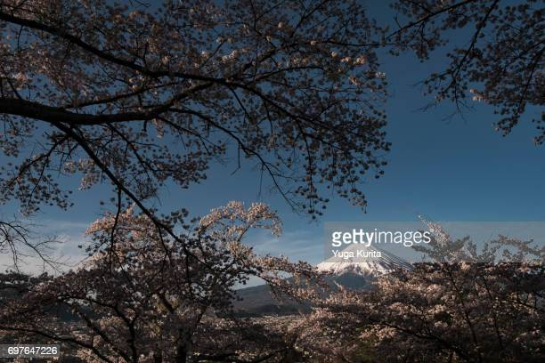 Mt. Fuji Framed by Cherry Blossoms