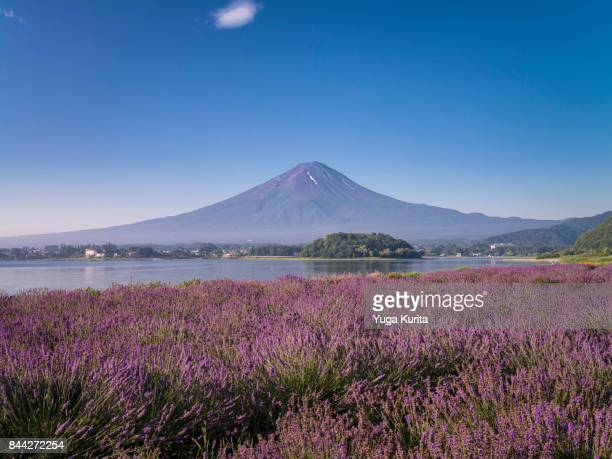 Mt. Fuji over Fields of Lavenders