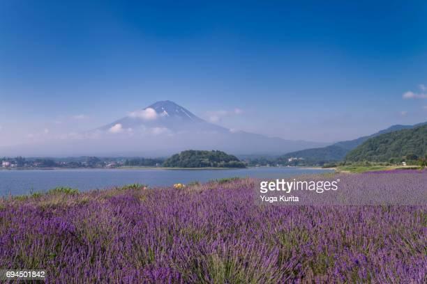 Mt. Fuji over Lavender Blossoms