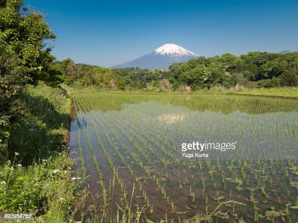 Mt. Fuji over Newly-Planted Rice Paddy