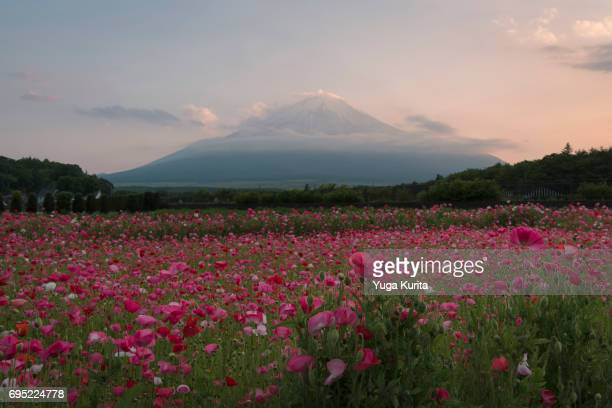 Mt. Fuji over Poppy Flowers