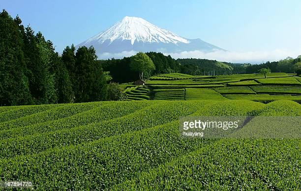 Mt. Fuji tea fields in May
