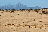 Mt Kenya with herd of eland (Taurotragus oryx) in foreground, Lewa Wildlife Conservancy, Kenya