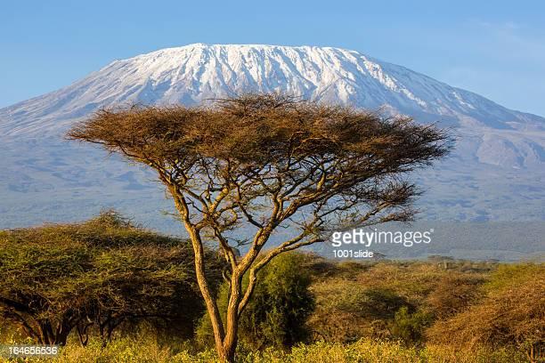 Mt Kilimanjaro and Acacia - in the morning