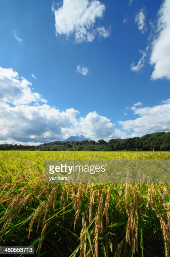 Mt.Iwate and Landscape of rice field : Stock Photo