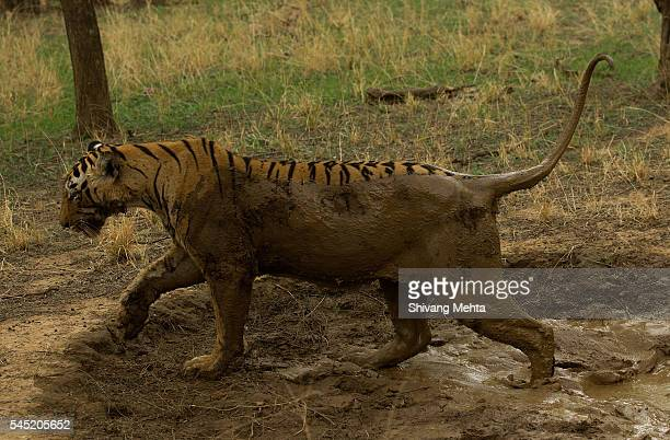 Muddy tiger in summers